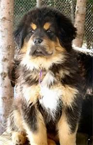 Daily Schedule Chart Tibetan Mastiff Growth Rates Tibetan Mastiff Info Com