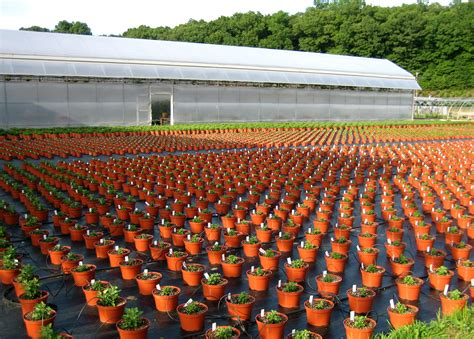 tree nurseries file chrysanthemums in a plant nursery jpg