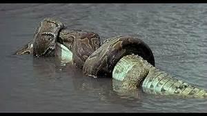 Giant Anaconda attack human - Anaconda Eats Crocodile ...