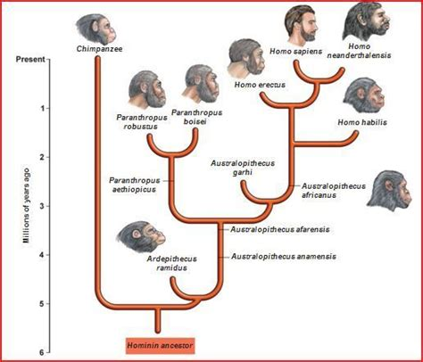 Human Evolution Tree Phylogenetic Diagram