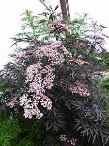 Holunder Black Beauty Essbar : sambucus nigra schwarzer holunder 39 black lace ~ Michelbontemps.com Haus und Dekorationen