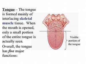 Acc organs digestion