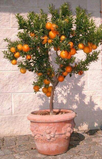 Small Orange Variety Kiat Kiat With Images Fruit