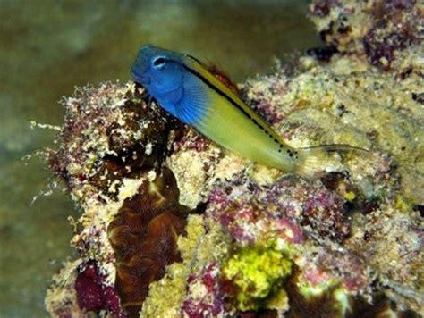 schwarzstreifen schleimfisch ecsenius gravieri fisch