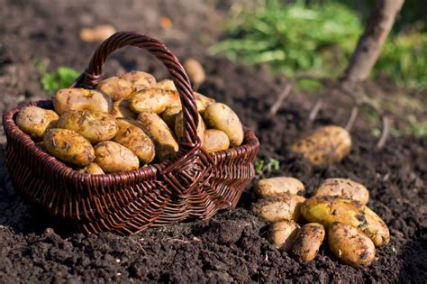 how to potatoes from garden how to grow potatoes the garden of eaden