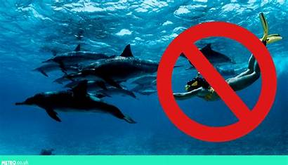Swimming Dolphins Hawaii Metro Strip