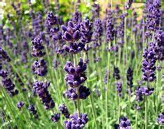 Enzian Schneiden Und überwintern : lavandula angustifolia 39 nana alba 39 wei er zwerg lavendel ~ Lizthompson.info Haus und Dekorationen