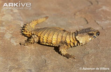 Armadillo Girdled Lizard Videos, Photos And Facts
