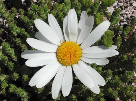 i fiore piante e fiori margherita