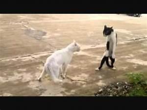 Cat Walks on Two Legs - YouTube
