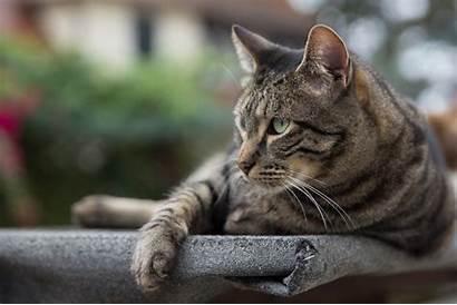 Tiger Cat Tabby Cats Domestic California Wild