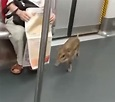 小野豬大鬧地鐵 玩累就趴博愛座「還會轉車」