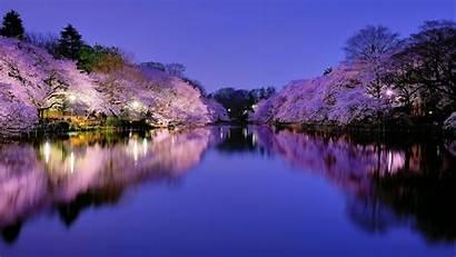 Cherry Fabulous Blossom Night Desktop Wallpapers Backgrounds