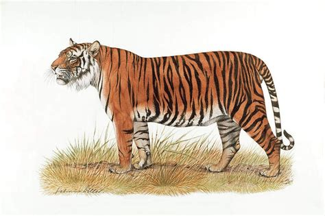 tiger drawings tiger pinterest tigers tiger drawing