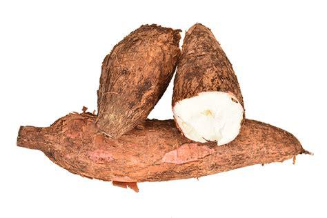 what is tapioca what is tapioca wonderopolis