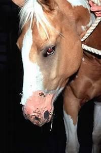 Photosensitization In Animals