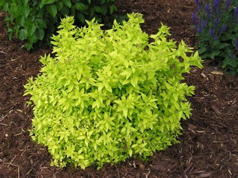 green shrubs goldmound spirea an impressive garden shrub for colour effect featuring light gold bright