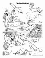 Coloring Wetland Habitat Animals Exploringnature Nature Ecosystem Jungle Animal Habitats Sheets Printable Definition Colouring Plants Desert Pond Forest Tiere Sketch sketch template