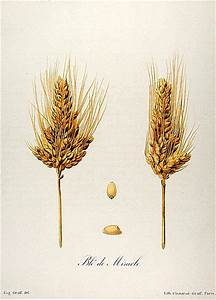 Taxonomy Of Wheat