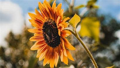 Sunflower Yellow Bloom 1080p Tablet Laptop Fhd