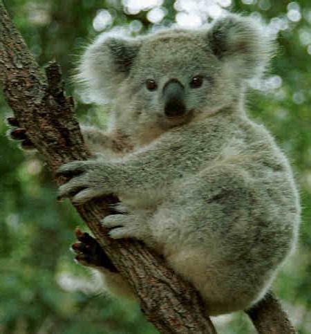 Kur dzīvo koala, šī dzīvnieka apraksts un iezīmes