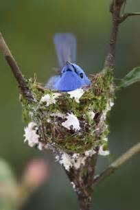 Black-naped Monarch Bird