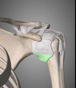 Scapula  Deltoid  Superficial Back Muscles
