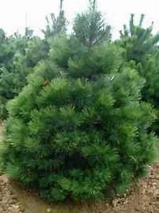 Johannisbeeren Hochstamm Kaufen : pinus nigra ssp nigra 39 hochstamm 39 sterreichische ~ Lizthompson.info Haus und Dekorationen