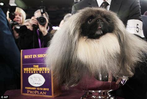 westminster dog show  winner malachy  pekingese
