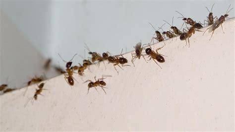 Ameisen Bekämpfen Tipps & Hausmittel Gegen Ameisen Im Haus