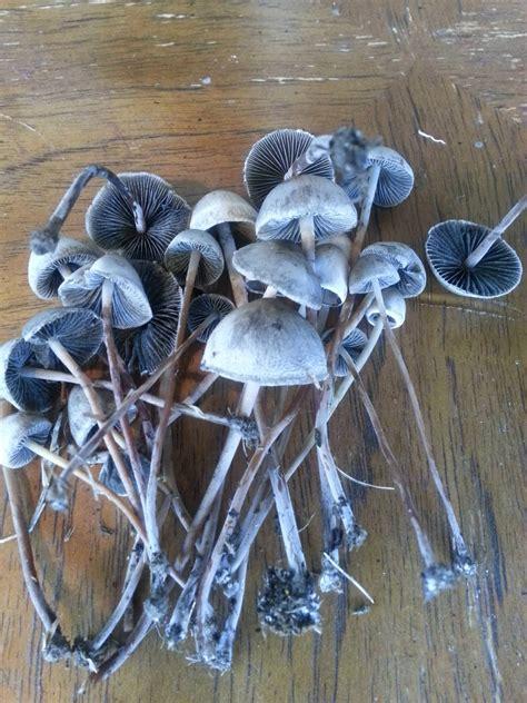 Magic Mushrooms In Georgia All Mushroom Info