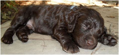 Do Spaniels Shed Hair by Boykin Spaniel Puppies Breeders Rescue Facts