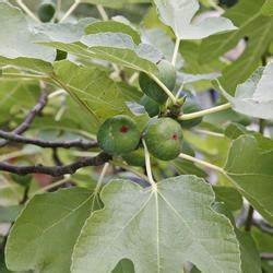 feigenbaum echte feige ficus carica pflanzen schneiden With feuerstelle garten mit feigenbaum zimmerpflanze kaufen