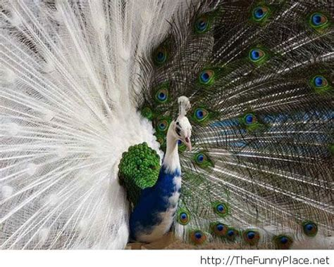 majestic peacock ? TheFunnyPlace