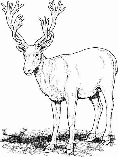 Coloring Pages Deer Printable Animal Caribou Reindeer