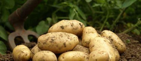 cuisiner pomme de terre nouvelle les pommes de terre primeur et les pommes de terre