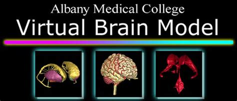 albany medical college virtual brain model software