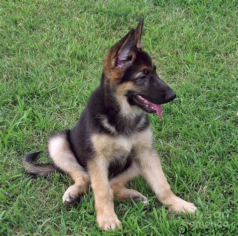 german shepherd pup german shepherd temperament