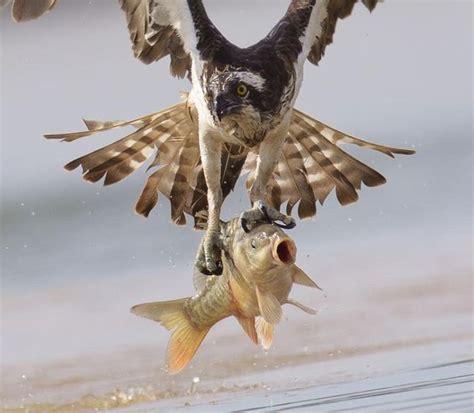 hunting osprey animals