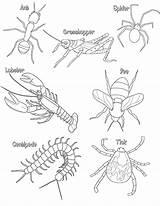 Coloring Arthropod Hewan Arthropods Arthropoda Phylum Halo Anatomy Colorare Body Mamalia Ausmalbild Bio Worksheets Insekt Master Contoh Thorax Air Biology sketch template