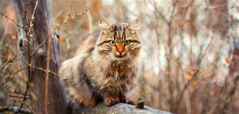 siberian cat cost much does grooming