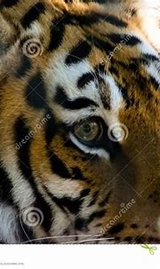 Eye Of The Tiger Stock Photo - Image: 49923179