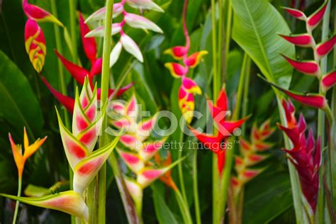 Many Types of Heliconia Flowers IN A Jungle Stock Photos