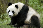 Giant Pandas. | pgcps mess - Reform Sasscer without delay.