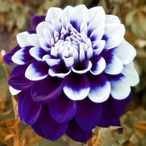 aliexpress buy tomo pilot dahlia flower seeds