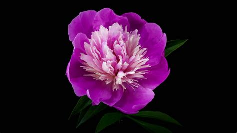 timelapse  pink white peony gay paree flower blooming