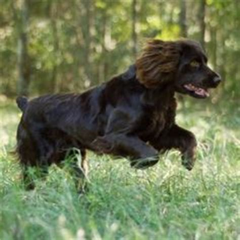 Do Boykin Spaniels Shed by Looking Boykin Spaniel Curly Hair And Light