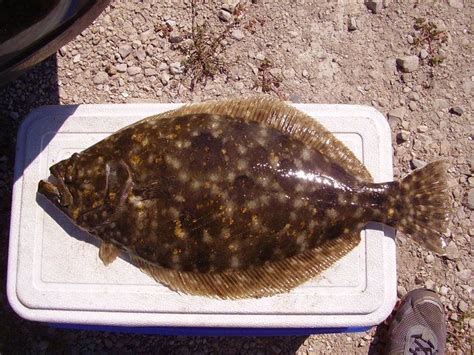 flounder southern golden spots sides both brown fish game huh crazy texas