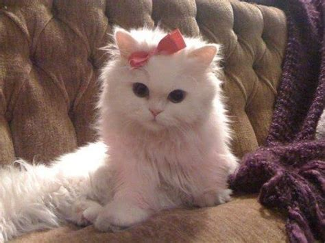 White Cat, Pink Bow.