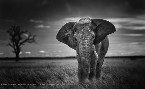 elephant black  white wallpaper elephants wallpapers